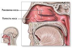 Строение полости носа