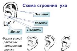 Наружное строение уха