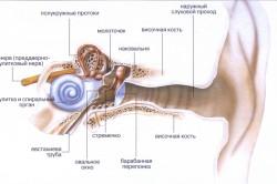Внутреннее строение уха