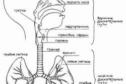 Строение дыхательных путей