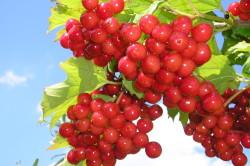 Польза калины при заболеваниях желудка и печени