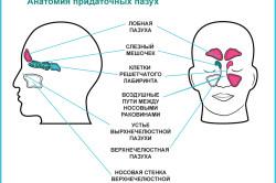 Анатомическое строение верхнечелюстных пазух