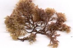 Исландский мох для лечения кашля